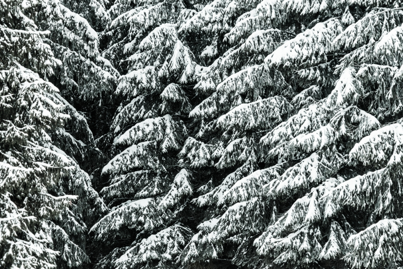 conifer-trees-covered-with-snow-close-up-background-picjumbo-com.jpg